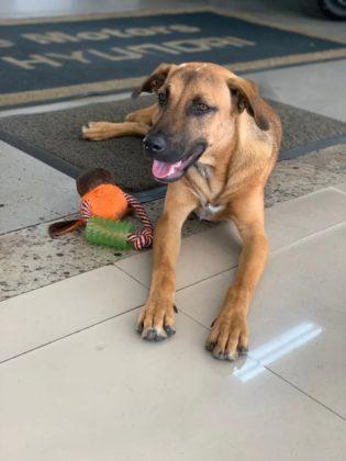 Tucson Prime, o cachorro vira-lata adotado por um concessionária Hyundai no ES